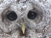 Close-up of Barred Owl face. Photo submitted by Sheila Moran.