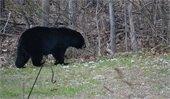 Black bear walking through yard