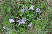 photo of violets in a lawn