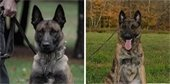 photos of LPD Canine Blesk and Nitro