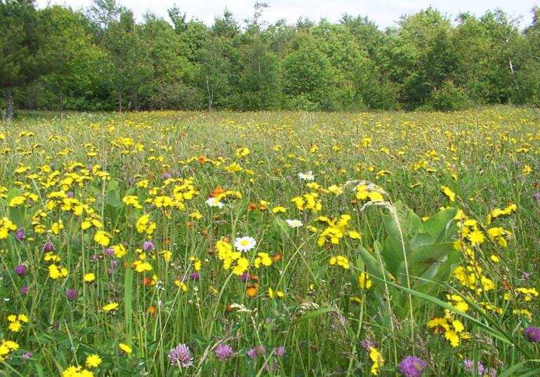 photo of a field of wildflowers