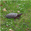 Snapping Turtle - Photo submitted by Stephanie Santimore