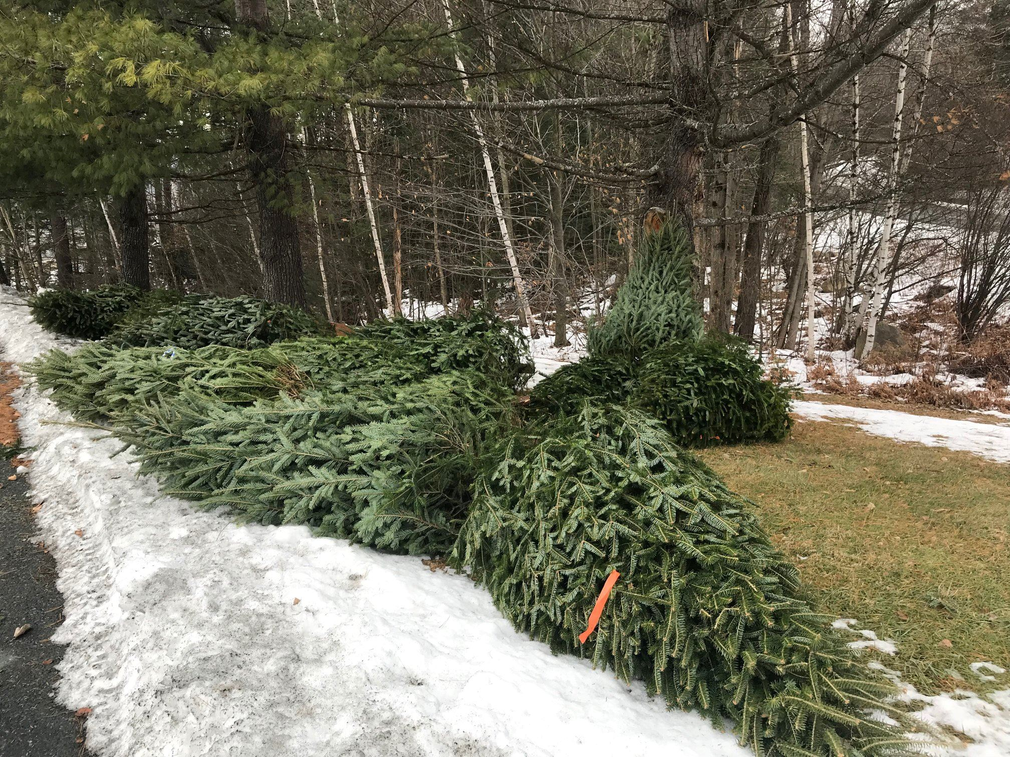 Christmas Trees donated by Sacred Heart Church