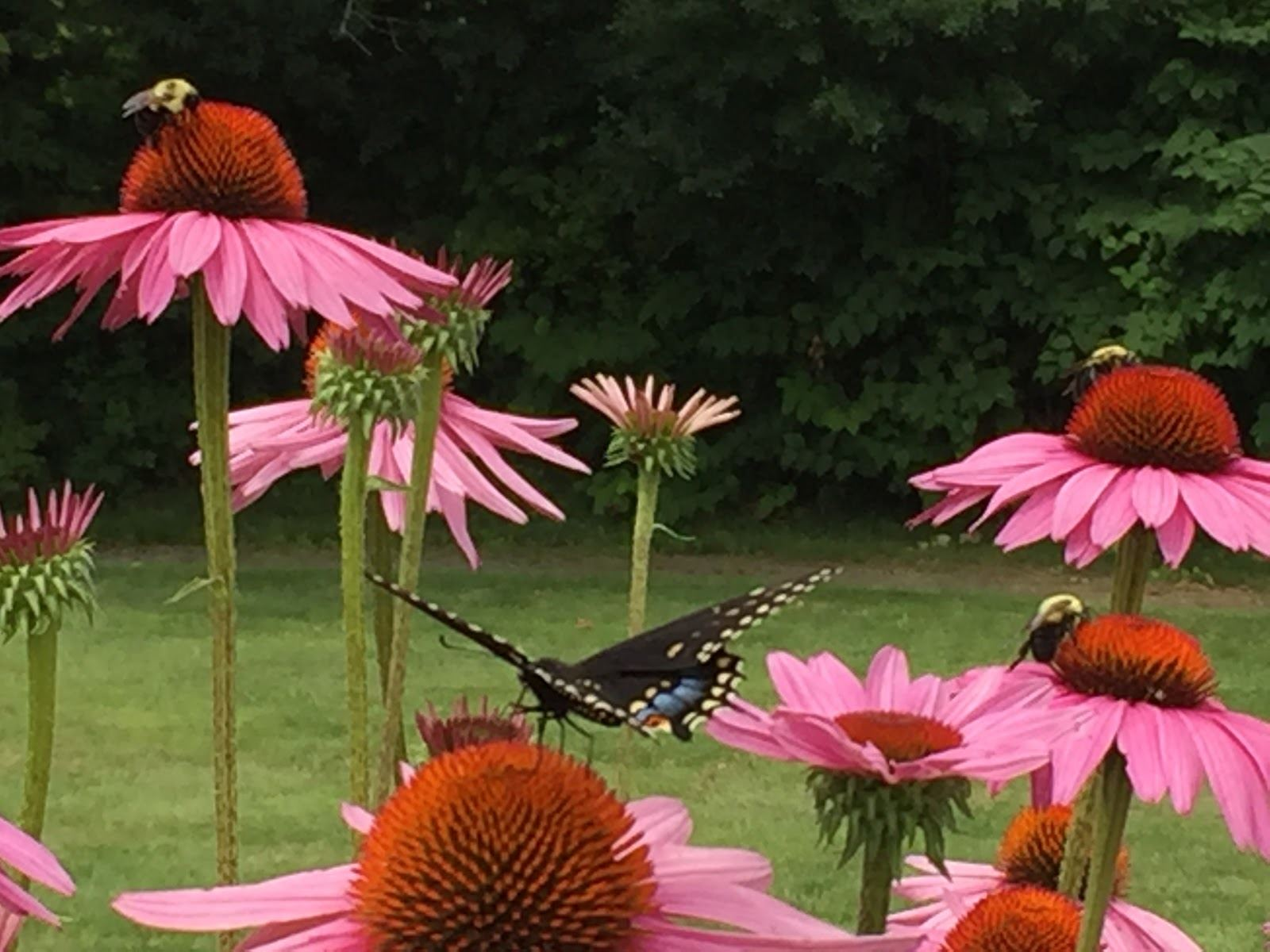 Bumblebees and a Black Swallowtail butterfly foraging on Echinacea purpurea at Canillas.